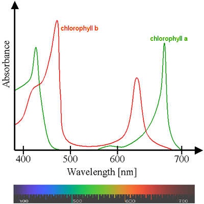 absorption spectrum of chlorophyll. Black Bedroom Furniture Sets. Home Design Ideas