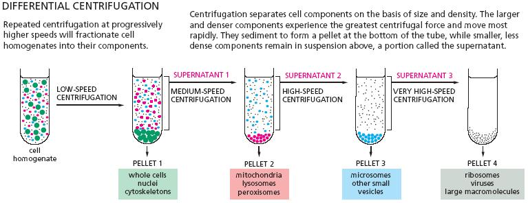 Cell Fractionation | cell biology olm