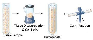 cell biology term papers Student peer review for the cell biology term papers name of student reviewer:_____ name of student author: _____ title of paper:_.