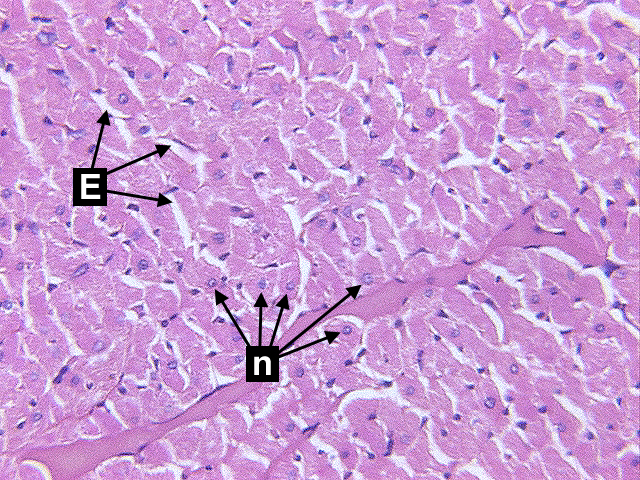 Chapter 7 Page 9 Histologyolm 40