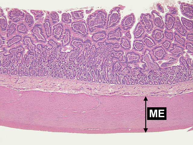 Small Intestine Microscope Slide Labeled