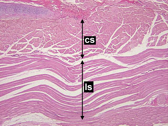 Chapter 7 Page 4 Histologyolm 40