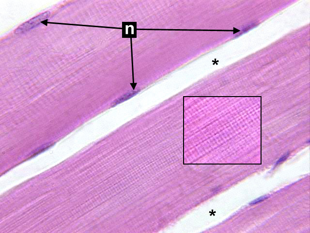 Microscopic Study Of Skeletal Muscle Long Oil Histologyolm