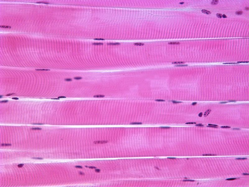 striated muscle tissue structure The structure of the smooth/striated/cardiac muscle tissue with a diagram 1 smooth muscle: these muscles are also called non-striated or non straight muscles the.