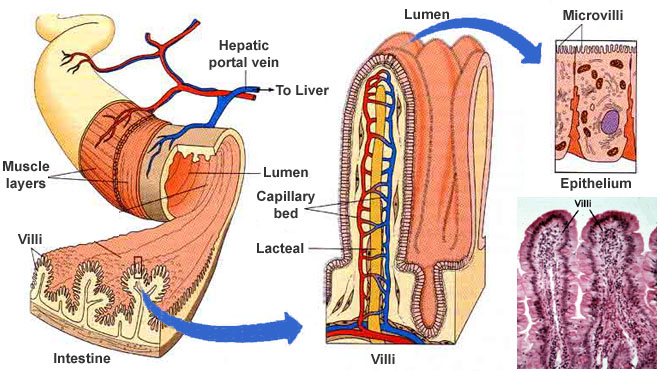 An Overview Of The Small Intestine Histologyolmevegallik